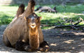 Funny smiling two humped camel a smiles at the camera while lounging in the shade at the krakow zoo Royalty Free Stock Photography