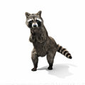 Funny sneaky conniving raccoon standing on his hind legs with its hands over its mouth laughing or taunting isolated a white Royalty Free Stock Photos