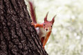 Funny squirrel. Royalty Free Stock Photo