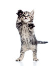 Funny standing playful kitten on white Royalty Free Stock Photo