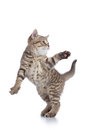 Funny striped kitten playing and jumping on white