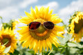 Funny sunflower with sunglasses on field Stock Photography