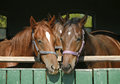 Funny thoroughbred horses standing in the stable door young chestnut Royalty Free Stock Photography
