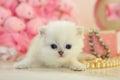 Funny Tiny British Kitten