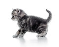Funny walking black cat kitten on white background Stock Image
