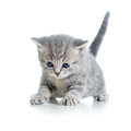 Funny walking cat kitten grey Stock Images