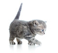 Funny walking cat kitten on white Stock Photos