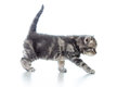 Funny walking cat kitten on white Royalty Free Stock Images
