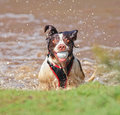 Funny wet dog in water with ball in mouth Stock Image