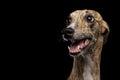 Funny Whippet Dog On Black Bac...