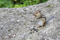 Funny wild chipmunk eats seeds Stock Photo