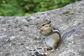 Funny wild chipmunk eats seeds Royalty Free Stock Images