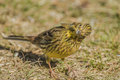 Funny yellowhammer emberiza citrinella the is a large and long tail sparrow it is cm long and has a wingspan of cm the weight can Royalty Free Stock Image