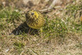 Funny yellowhammer emberiza citrinella the is a large and long tail sparrow it is cm long and has a wingspan of cm the weight can Royalty Free Stock Photos
