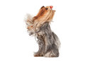 Funny yorkie puppy on white gradient background Stock Image
