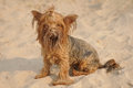 Funny yorkshire terrier portrait on the beach Royalty Free Stock Photography