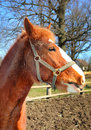 Funny young horse portrait of red in sunny day Royalty Free Stock Images