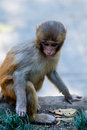 Funny young monkey at the edge of the observation deck railings Royalty Free Stock Photo