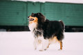 Funny Young Shetland Sheepdog, Sheltie, Collie Dog Playing And Running Outdoor In Snow, Royalty Free Stock Photo
