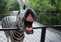 Funny zebra Stock Photo