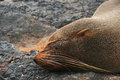 Fur Sea Lion on a Beach Royalty Free Stock Image