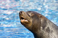 Fur seal 5 Royalty Free Stock Photography
