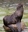 Fur seal latin name callorhinus ursinus Stock Image