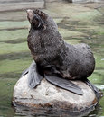 Fur seal latin name callorhinus ursinus Royalty Free Stock Images