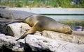 Fur seal mammal pinniped vertebrate predator zoo coat Stock Image