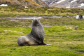Fur seal puppy Royalty Free Stock Photo