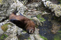 Fur seal on rocks Royalty Free Stock Images