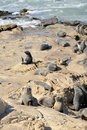 Fur Seal on Rocks, New Zealand Royalty Free Stock Photo