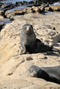Fur Seal on Rocks, New Zealand Royalty Free Stock Photography