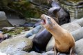 Fur seals on the la jolla beach california Royalty Free Stock Images