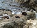Fur seals new zealand resting on rocks south island Royalty Free Stock Photo