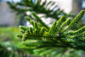 Fur tree branch green lush of the natural growing Stock Photo