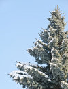Fur tree covered with snow Royalty Free Stock Photography