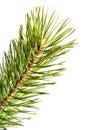Fur-tree. Part christmas-tree. Isolated Stock Photos
