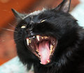 Furious cat photography of roaring black Royalty Free Stock Images