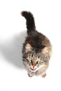 Furry adult cat beautiful on white background Royalty Free Stock Image