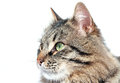 Furry adult cat beautiful on white background Royalty Free Stock Images