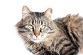 Furry adult cat beautiful on white background Stock Photos