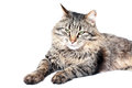Furry adult cat beautiful on white background Stock Photo