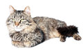Furry adult cat beautiful on white background Royalty Free Stock Photo