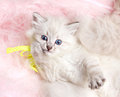 Furry beautiful kitten with blye eyes lying on furry pink mat Royalty Free Stock Photography