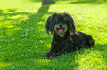 Furry black dog laid in the grass and looking curious and playful at camera Stock Images