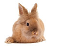 Furry brown rabbit little easter on a white background Royalty Free Stock Photography