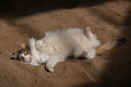 Furry Cat Laying on Back in Sandy Dirt with Large Green Eyes in Sunshine Royalty Free Stock Photo