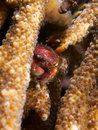 Furry coral guard crab Royalty Free Stock Photo