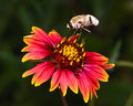 Furry Hover Fly Feeding on Fire Wheel Wildflower in Arizona Royalty Free Stock Photo